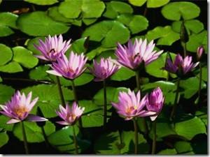 Waterlilies_thumb.jpg